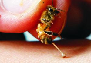 Пчелиный яд называют апитоксином