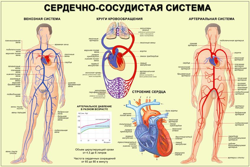 Вены и сосуды в организме человека