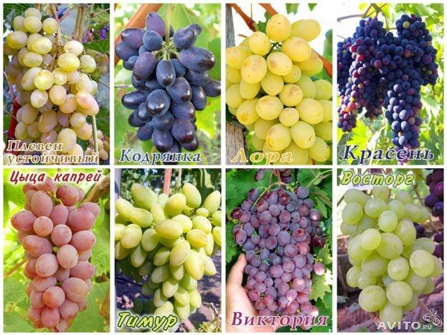 Все сорта винограда
