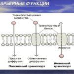 Повышение барьерных функций клеток