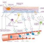 Воспалительные реакции венозных структур